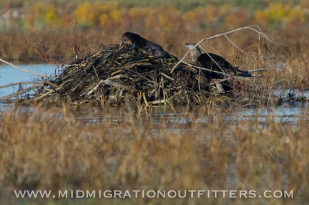102016-otters-on-beaver