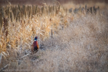 111616-r-r-pheasants-wm-5