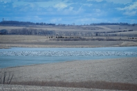 32016-snow-goose-roost-on-ice