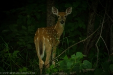 81116-fawn-looking-back-1