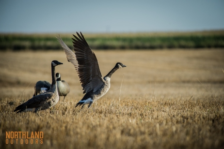 82816-geese-taking-off-from-decoys-no