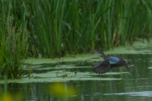 9916-blue-winged-teal