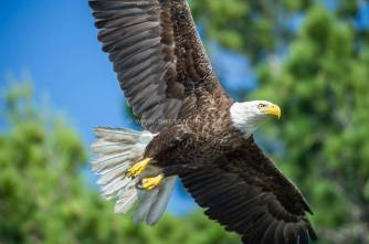 bald-eagle-with-wm