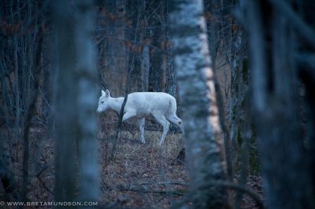 fh-white-deer-ba