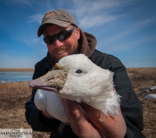 Ross's goose in South Dakota.
