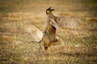 42419 - prairie chickens - ba600-10