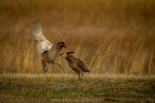 42419 - prairie chickens - ba600-16