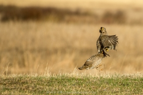 42419 - prairie chickens - ba600-21