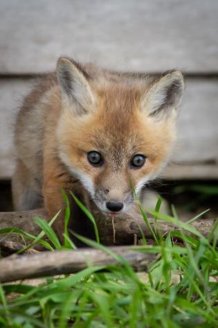fox kit 1